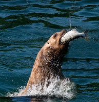 Sea Lion with salmon
